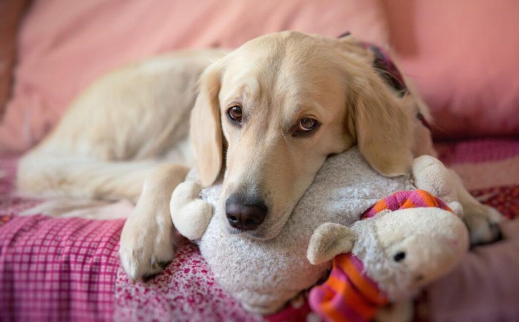 embarazos psicológicos en perros